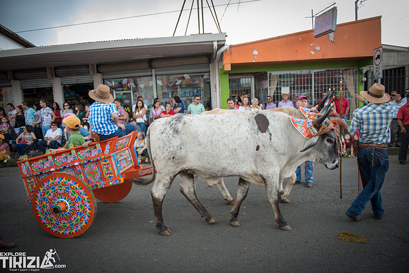Oxcart cow parade