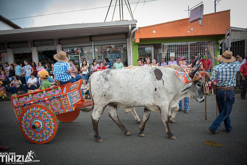 Oxcart cow parade